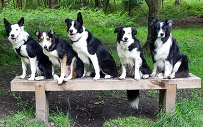 Collies on the bench